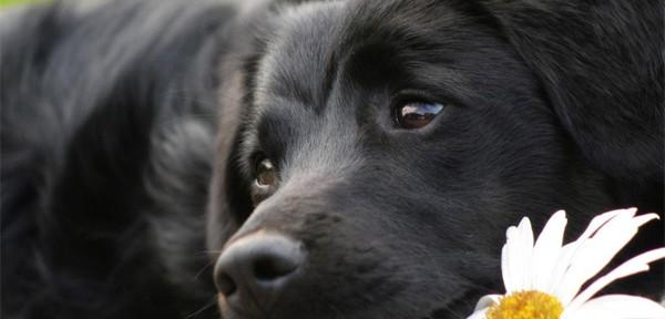 Beneficios de la manzanilla para los perros