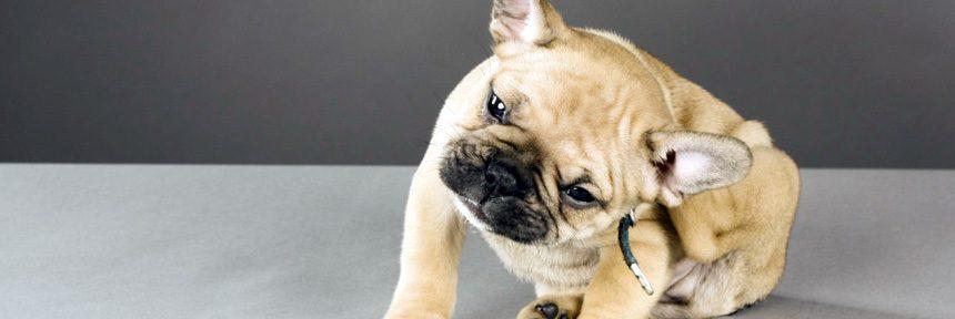 Cómo eliminar las pulgas en las mascotas